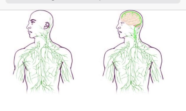 Beyin ile Bağışıklık Sistemi Arasında Direkt Bağlantı İspatlandı