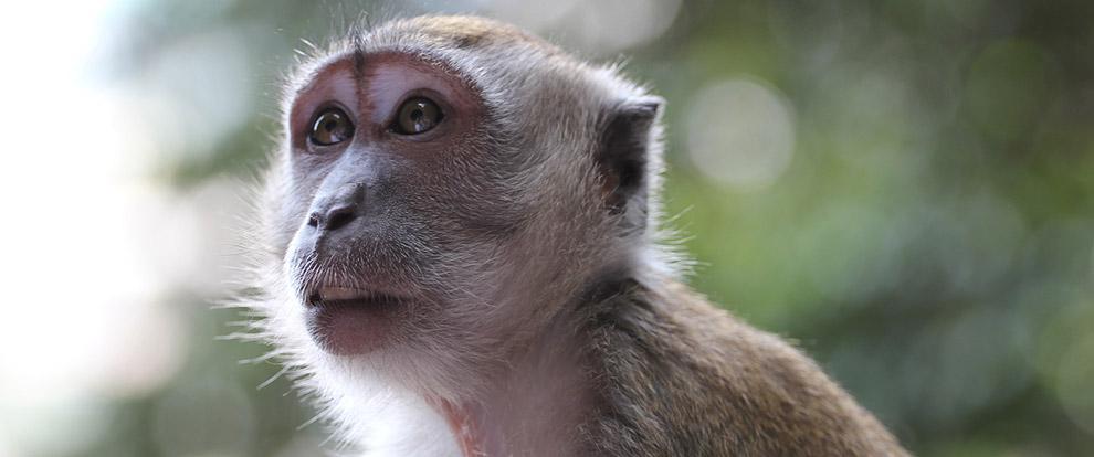 Otizm Belirtileri Gösteren Maymunlar Elde Edildi