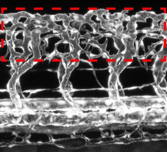 Nöronların Kan Damarlarının Gelişimini Modüle Ettiği Ortaya Kondu